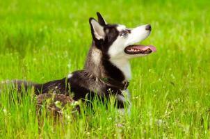 Husky dog on green grass photo
