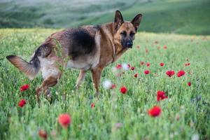 Perro pastor alemán en la pradera de verano con flores. foto