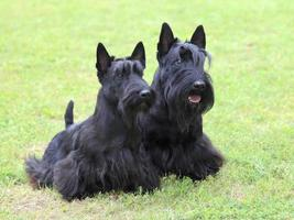The portrait of two Scottish Terrier dogs photo