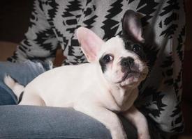 Little french bulldog