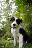 Collie pup photo