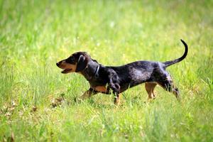 dachshund dog grass photo