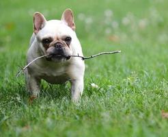 perro jugando con palo foto