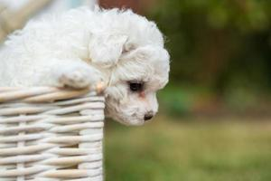 Puppy Hanging Over A Hamper photo
