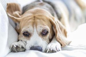 Beagle on sofa photo