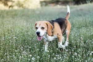 Brown beagle photo