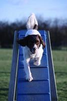 tipo de trabalho springer spaniel inglês cão caça-níqueis fazendo agilidade
