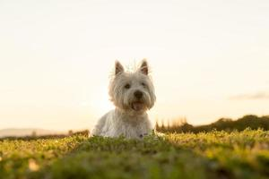 west highland white terrier a very good looking dog photo