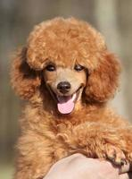Happy Toy poodle puppy close up portrait