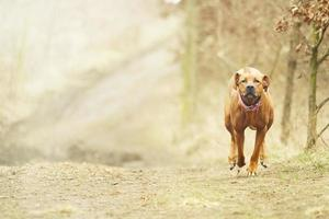 beautiful young and fun rhodesian ridgeback dog puppy running  spring