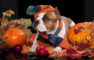 American stafordshirsky terrier and pumpkin orange