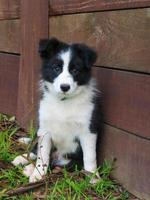 australian border collie