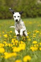 Young dalmatian junmping through dandelion