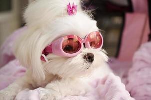Cool fashionable Maltese doggy