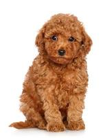 Toy Poodle puppy on a white background photo