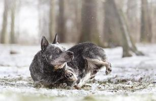 young  beautiful Australian Cattle Dog puppy snowy landscape dog trick