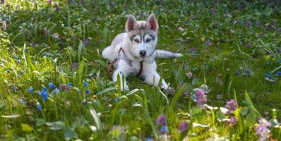 Retrato de cachorro de husky siberiano foto