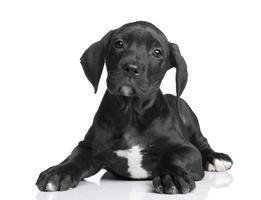 Great Dane puppy (2 months)