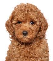 Poodle puppy close-up portrait photo