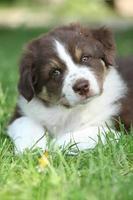 Gorgeous puppy of australian shepherd