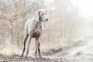 pretty young sad weimaraner dog puppy in sunlight background