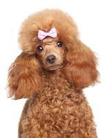 Toy poodle puppy close-up portrait photo