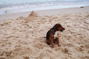 Thai dog wait owner on beach photo