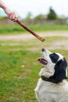 Russian Spaniel playing with stick photo