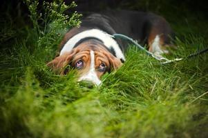 Basset hound laying and looks up