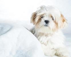 young shihtzu puppy close up on white background