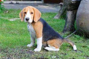 Beagle dog in the garden photo