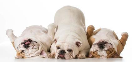 three dogs photo
