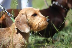 Retrato de perro dachshund marrón en el parque