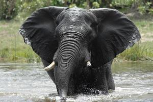 African elephant bull bathes in river photo
