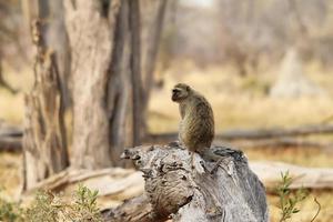 Portrait fo african baboon monkey photo