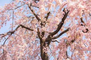 flores de sakura desabrocham no parque ueno, tokyo, japão
