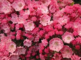 Flower of Kalmia photo