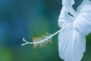 White hibiscus flower photo