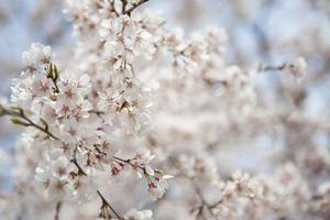 White flower in japan