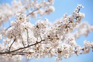 flor de cerejeira sakura em tokyo japão na temporada de sakura 2014