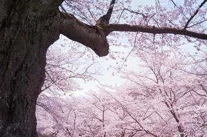 Flower of a cherry tree photo