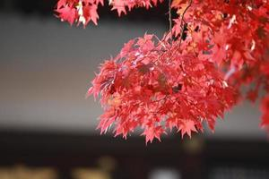 autumn red leaves in japan kyoto