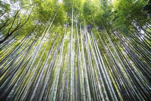 Kyoto, Japan - green bamboo grove in Arashiyama photo