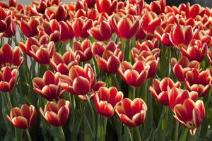 Red Tulips in Garden near Amsterdam