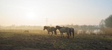 Konik horses walking in a field at sunrise photo