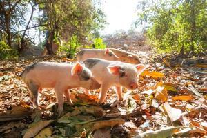 Morning piglets photo