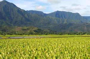 campos de taro de kauai foto