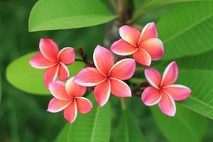 Exotic frangipani flower photo
