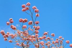 Tabebuia rosea or Pink trumpet flower blooming