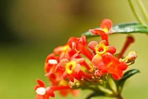 verbenas flowers photo